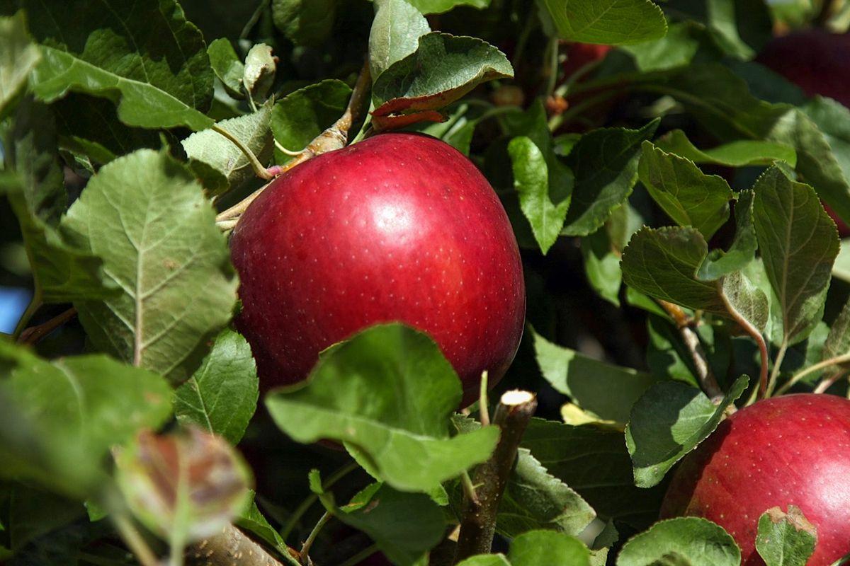 10 Milyon Dolar Harcanarak 20 Yılda Üretilen Elma